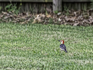 Grounded Woodpecker